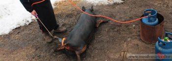 podis-taiatul-porcului-de-craciun-foto